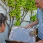 Un cadre de ruche avec des abeilles ...en démonstration