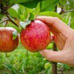 cueillette-pomme-mure