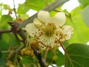 fleur de kiwis