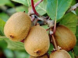 fruit du kiwi